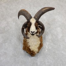 Jacob's Four Horn Taxidermy Mount For Sale #19637@ The Taxidermy Store