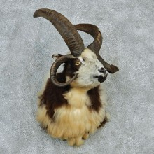 Jacobs Four Horn Ram Taxidermy Shoulder Mount For Sale