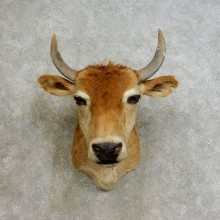Jersey Steer Shoulder Mount For Sale #17239 @ The Taxidermy Store