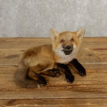Juvenile Red Fox Life-Size Mount For Sale #20660 @ The Taxidermy Store