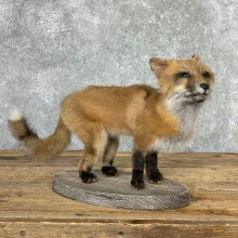 Juvenile Red Fox Life-Size Mount For Sale #22928 @ The Taxidermy Store