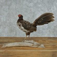 Standing Kalij Pheasant Mount