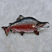 King Salmon Fish Mount For Sale #14386 @ The Taxidermy Store