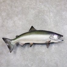 King Salmon Fish Mount For Sale #22209 @ The Taxidermy Store