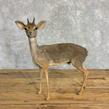 Kirk's Dik-Dik Life-Size Mount For Sale #22844 @ The Taxidermy Store