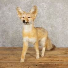 Kit Fox Life-Size Mount For Sale #20622 @ The Taxidermy Store