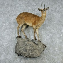 Klipspringer Taxidermy Life-Size Wall Pedestal Mount #12933 For Sale @ The Taxidermy Store