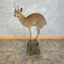 Klipspringer Life-Size Taxidermy Mount #21298 For Sale - The Taxidermy Store