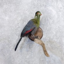 Knysna Lourie Bird Mount For Sale #18662 @ The Taxidermy Store