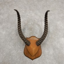 Kob Horn Plaque Mount For Sale #20997 @ The Taxidermy Store