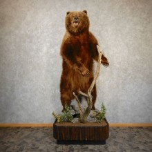 Giant Alaskan Brown Bear Life-size Taxidermy Mount For Sale