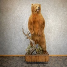 Kodiak Brown Bear Life Size Taxidermy Mount For Sale #20355 @ The Taxidermy Store