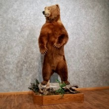 Kodiak Brown Bear Life-Size Taxidermy Mount For Sale