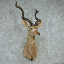 African Kudu Shoulder Mount #13605 For Sale @ The Taxidermy Store