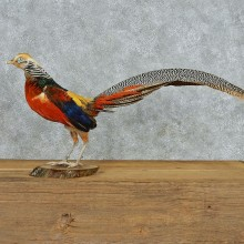 Standing Lady Amherst's Pheasant