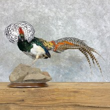 Lady Amherst Pheasant Taxidermy #22907 For Sale @ The Taxidermy Store