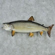 """30"""" Lake Trout Fish Mount"""