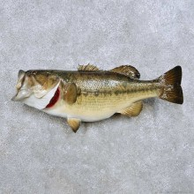 """21"""" Largemouth Bass Taxidermy Fish Mount For Sale"""