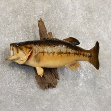 Largemouth Bass Fish Mount For Sale #19711 @ The Taxidermy Store
