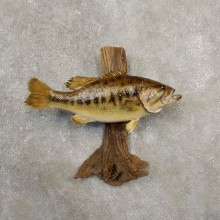 "18.5"" Largemouth Bass Taxidermy Fish Mount For Sale"