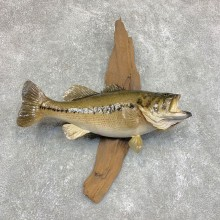 Largemouth Bass Fish Mount For Sale #21783 @ The Taxidermy Store