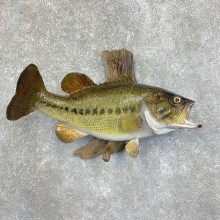 Largemouth Bass Fish Mount For Sale #21808 @ The Taxidermy Store