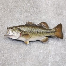 Largemouth Bass Fish Mount For Sale #22211 @ The Taxidermy Store