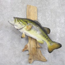 Largemouth Bass Fish Mount For Sale #22286 @ The Taxidermy Store