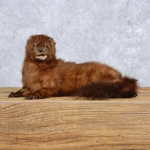 Laying American Mink Taxidermy Mount For Sale