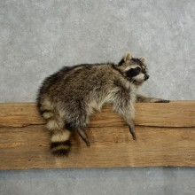 Raccoon Life-Size Mount For Sale #17117 @ The Taxidermy Store