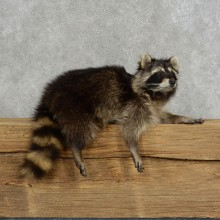 Raccoon Life-Size Mount For Sale #17118 @ The Taxidermy Store