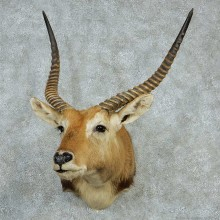 Southern Lechwe Taxidermy Shoulder Mount For Sale