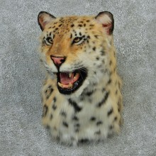 Reproduction Snow Leopard Taxidermy Shoulder Mount For Sale