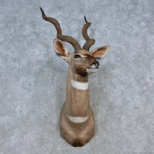 Lesser Kudu Taxidermy Shoulder Mount For Sale
