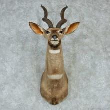 African Lesser Kudu Shoulder Mount