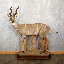 Lesser Kudu Taxidermy Life-Size Mount For Sale