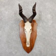 Lichtenstein Hartebeest Skull & Horn European Mount For Sale #20049 @ The Taxidermy Store