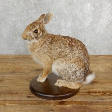 Life-size Cottontail Rabbit Taxidermy Mount For Sale #19690 @ The Taxidermy Store
