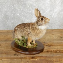 Life-size Cottontail Rabbit Taxidermy Mount For Sale #19691 @ The Taxidermy Store