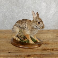Eastern Cottontail Rabbit Life-size Taxidermy Mount For Sale