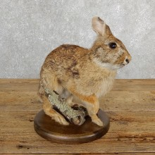Life-size Cottontail Rabbit Taxidermy Mount For Sale #19693 @ The Taxidermy Store