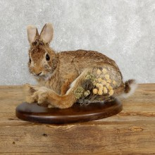 Life-size Cottontail Rabbit Taxidermy Mount For Sale #19695 @ The Taxidermy Store