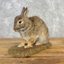 Life-size Cottontail Rabbit Taxidermy Mount For Sale #21669 @ The Taxidermy Store