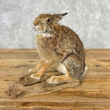 Life-size Cottontail Rabbit Taxidermy Mount For Sale #21670 @ The Taxidermy Store