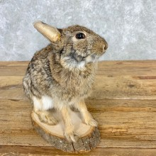 Life-size Cottontail Rabbit Taxidermy Mount For Sale #21671 @ The Taxidermy Store