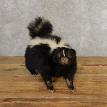 Standing Striped Skunk Taxidermy Mount For Sale