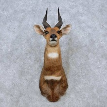Limpopo Bushbuck Shoulder Mount For Sale #14559 @ The Taxidermy Store