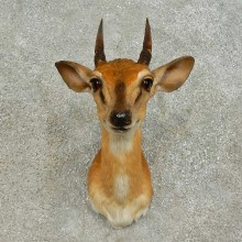 Suni Antelope Shoulder Mount For Sale #16379 @ The Taxidermy Store