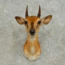 Suni Antelope Taxidermy Shoulder Mount For Sale
