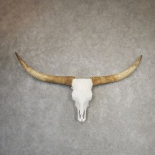 Longhorn Steer Skull European Mount For Sale #21187 @ The Taxidermy Store